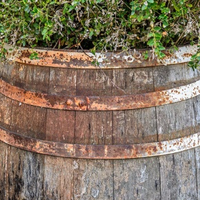 Rusty-Barrel-Containing-Plant